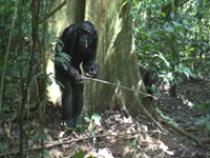 Goualougo's Tool Using Apes on Ants