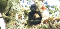 Spending time with Goualougo Gorillas